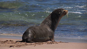 Antarctic fur seal (Arctocephalus tropicalis) exhausted on beach, much further north than its distribution, enters sea, Steep Point, Western Australia, 2018.  -  Fred  Olivier
