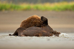 Grizzly bear (Ursus arctos), two fighting in water. Lake Clark National Park, Alaska, USA. September.  -  Danny Green