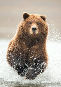 Grizzly bear (Ursus arctos) running through water, portrait. Lake Clark National Park, Alaska, USA. September.  -  Danny Green