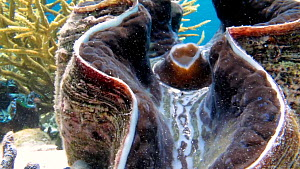 Close-up of a Giant clam (Tridacna) exhaling siphon, Nusatupe Lagoon, Solomon Islands. - Fred  Olivier