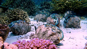 Giant clams (Tridacna), Nusatupe Lagoon, Solomon Islands.  -  Fred  Olivier