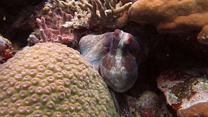 Tracking shot of a Common reef octopus (Octopus cyanea), goes into a hole, Uepi Island, Solomon Islands.  -  Fred  Olivier