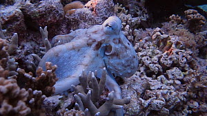 Tracking shot of a Common reef octopus (Octopus cyanea) hunting, Uepi Island, Solomon Islands.  -  Fred  Olivier