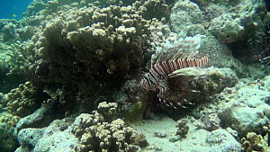Lionfish (Pterois volitans) above coral, swimming in current, Uepi Island, Solomon Islands.  -  Fred  Olivier