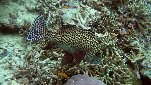 Harlequin sweetlips (Plectorhinchus chaetodonoides) swimming above a coral reef, Uepi Island, Solomon Islands.  -  Fred  Olivier