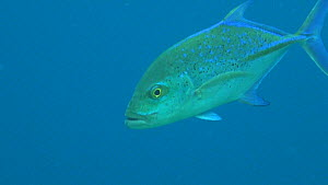 Close-up of a Bluefin trevally (Caranx melampygus) swimming in blue water above reef edge, Uepi Island, Solomon Islands.  -  Fred  Olivier