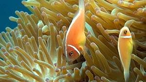 Pink anemonefish (Amphiprion perideraion) swimming around a Magnificent sea anemone (Heteractis magnifica), Uepi Island, Solomon Islands. - Fred  Olivier