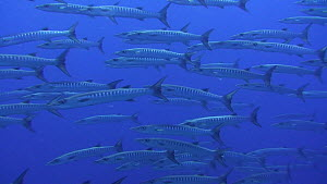 School of Blackfin barracuda?(Sphyraena qenie) swimming in blue water away from reef edge, Kitcha Island, Solomon Islands.  -  Fred  Olivier
