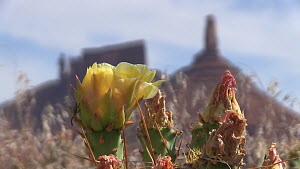 Timelapse of Engelmann's prickly pear (Opuntia Engelmannii) flowering, with Castleton Tower in the background, Castle Valley, Utah, USA, 2018 - Fred  Olivier
