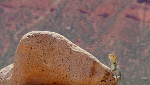 Yellow-headed collared lizard (Crotaphytus collaris auriceps) climbing on a rock, basking, Castle Valley, Utah, USA, 2018.  -  Fred  Olivier