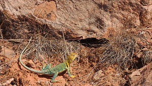 Yellow-headed collared lizard (Crotaphytus collaris auriceps) entering a hole, Castle Valley, Utah, USA, 2018.  -  Fred  Olivier