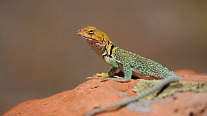 Yellow-headed collared lizard (Crotaphytus collaris auriceps) basking on a rock, looking around, Castle Valley, Utah, USA, 2018.  -  Fred  Olivier