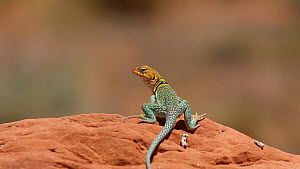 Yellow-headed collared lizard (Crotaphytus collaris auriceps) basking on a rock, Castle Valley, Utah, USA, 2018.  -  Fred  Olivier