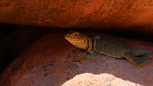 Yellow-headed collared lizard (Crotaphytus collaris auriceps) in shade on a rock, jumps away, Castle Valley, Utah, USA, 2018.  -  Fred  Olivier