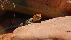 Tracking shot of a Yellow-headed collared lizard (Crotaphytus collaris auriceps) moving on a rock, Castle Valley, Utah, USA.  -  Fred  Olivier