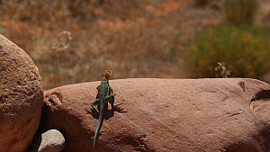 Yellow-headed collared lizard (Crotaphytus collaris auriceps) basking on a rock, Castle Valley, Utah, USA.  -  Fred  Olivier