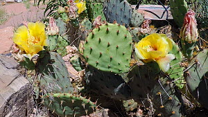 Timelapse of an Engelmann's prickly pear (Opuntia Engelmannii) flowering, Castle Valley, Utah, USA, 2018  -  Fred  Olivier