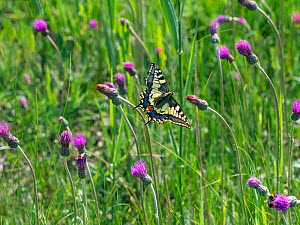 Swallowtail butterfly (Papilio machaon) flying amongst Thistle flowers. Norfolk Broads, Norfolk, England, UK. June.  -  Ernie  Janes