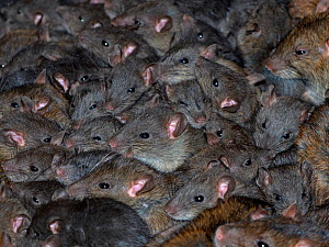 Brown rat (Rattus norvegicus)many crowded together in farm barn. - Ernie  Janes