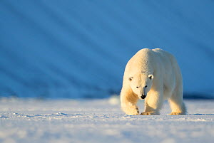RF - Polar bear (Ursus maritimus) female walking across ice. Svalbard, Norway, April. (This image may be licensed either as rights managed or royalty free.) - Danny Green