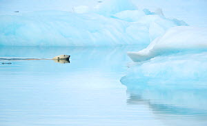 RF - Polar bear (Ursus maritimus) swimming towards sea ice, reflections in water. Svalbard, Norway, July. (This image may be licensed either as rights managed or royalty free.) - Danny Green