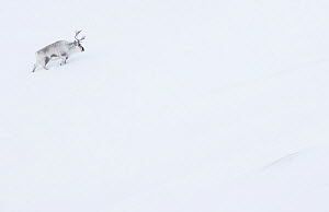 RF - Reindeer (Rangifer tarandus) walking up slope in snow. Svalbard, Norway, April. (This image may be licensed either as rights managed or royalty free.)  -  Danny Green