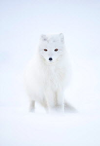 RF - Arctic fox (Alopex lagopus) in winter pelage, camouflaged in snow. Svalbard, Norway, April (This image may be licensed either as rights managed or royalty free.) - Danny Green