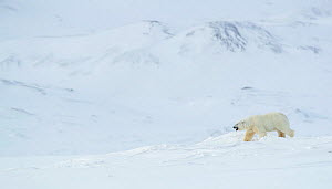 RF - Polar bear (Ursus maritimus) male walking through snow covered landscape, mountains in background. Svalbard, Norway, April (This image may be licensed either as rights managed or royalty free.) - Danny Green