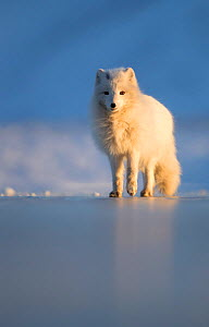 Arctic fox (Alopex lagopus) standing on ice, in winter pelage. Svalbard, Norway, April. - Danny Green