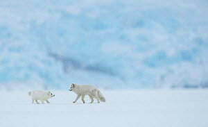 Arctic fox (Vulpes lagopus), two in snow covered landscape. Svalbard, Norway, April 2019. - Danny Green