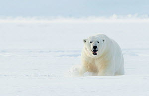 Polar bear (Ursus maritimus) male in snow. Svalbard, Norway, April.  -  Danny Green