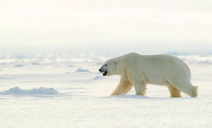 Polar bear (Ursus maritimus) male walking across frozen landscape. Svalbard, Norway, April 2019.  -  Danny Green