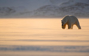 Polar bear (Ursus maritimus) looking for food on ice. Svalbard, Norway, April. - Danny Green