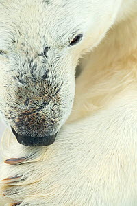 Polar bear (Ursus maritimus) licking paw, close-up. Svalbard, Norway, April.  -  Danny Green
