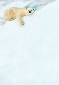Polar bear (Ursus maritimus) resting in snow. Svalbard, Norway, July.  -  Danny Green