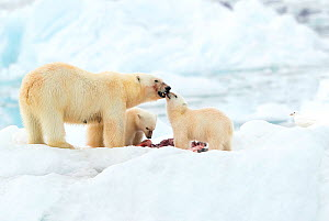 Polar bear (Ursus maritimus) and cubs feeding on Whale carcass. Svalbard, Norway, July. - Danny Green