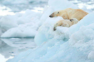 Polar bear (Ursus maritimus) and cubs resting on sea ice. Svalbard, Norway, July.  -  Danny Green