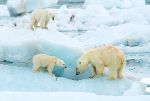 Polar bear (Ursus maritimus) and cubs, standing on sea ice. Svalbard, Norway, July.  -  Danny Green