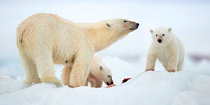 Polar bear (Ursus maritimus) and two cubs feeding on Whale carcass. Svalbard, Norway, July.  -  Danny Green