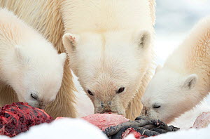 Polar bear (Ursus maritimus) female and cubs feeding on Whale carcass. Svalbard, Norway, July. - Danny Green