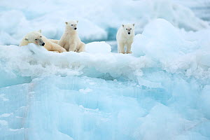 Polar bear (Ursus maritimus) female resting with cubs on glacier. Svalbard, Norway, July.  -  Danny Green