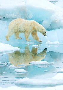 Polar bear (Ursus maritimus) walking across sea ice, reflected in water. Svalbard, Norway, July. - Danny Green
