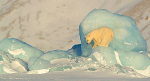 Polar bear (Ursus maritimus) cub ready to jump down from pack ice. Svalbard, Norway, April. - Danny Green
