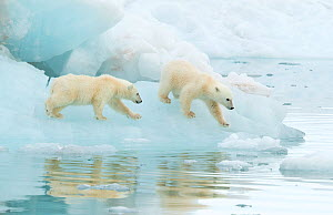 Polar bear (Ursus maritimus), two cubs walking on sea ice. Svalbard, Norway, July.  -  Danny Green