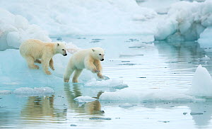Polar bear (Ursus maritimus), two cubs playing, leaping across sea ice, reflected in water. Svalbard, Norway, July.  -  Danny Green