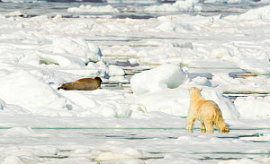 Polar bear (Ursus maritimus) hunting Seal on sea ice. Svalbard, Norway, July 2018. - Danny Green