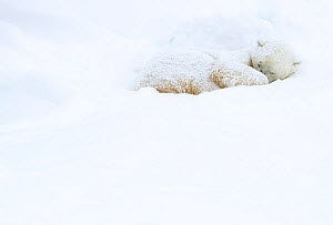 Polar bear (Ursus maritimus) sleeping in snow. Churchill, Manitoba, Canada, November.  -  Danny Green