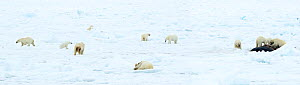 Polar bear (Ursus maritimus) group on ice, female and cubs feeding on Whale carcass. Svalbard, Norway, June 2018.  -  Danny Green