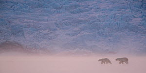 Polar bear (Ursus maritimus) two walking in snowy landscape. Svalbard, Norway, April 2018.  -  Danny Green