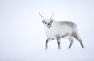 Reindeer (Rangifer tarandus) walking in snow. Svalbard, Norway, April.  -  Danny Green
